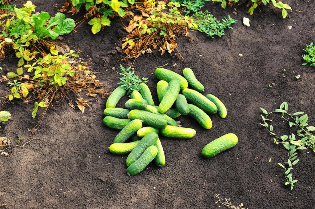 Органические огурцы